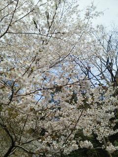 20120415廃線ハイク・桜の園!