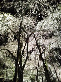 20130411平安神宮紅しだれコンサート♪