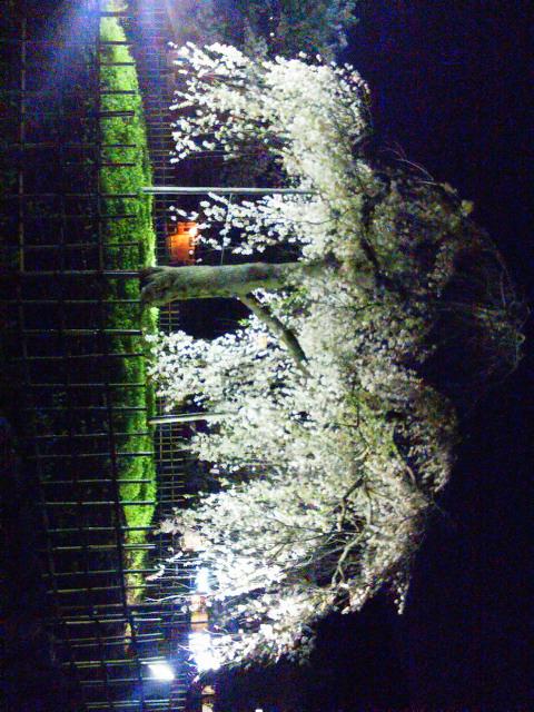 20140404今日も嵐山にお花見ジョギング
